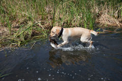Hunting labrador with duck bird Stock Photography