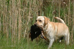 Hunting labrador retriever Stock Photo