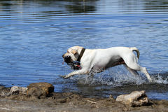 The hunting labrador Stock Images