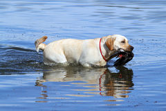 Hunting labrador Stock Images