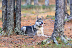Hunting laika in the Siberian wood Royalty Free Stock Photos