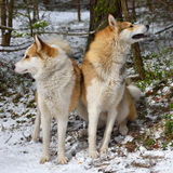 Hunting with Laikas Royalty Free Stock Photos