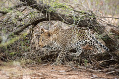 Hunting Leopard Royalty Free Stock Photo
