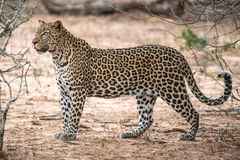 Hunting Leopard Royalty Free Stock Photography