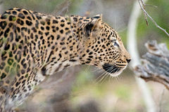 Hunting Leopard Stock Photos
