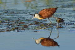 Hunting on lillies. African Jacana male landing on vegetation in Chobe National Park, Botswana Stock Image