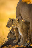 Hunting Lion Cubs Stock Photography
