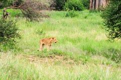 Hunting lion in Tarangire Park, Tanzania Royalty Free Stock Photos
