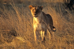 Hunting lioness Royalty Free Stock Images