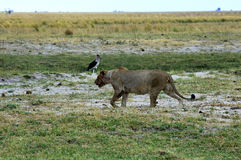 Hunting lioness Stock Image