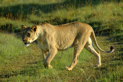 Hunting lioness Stock Photography