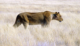 Hunting lioness Stock Photos