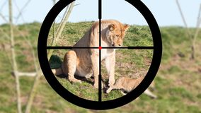 Hunting a lioness and cubs stock photography