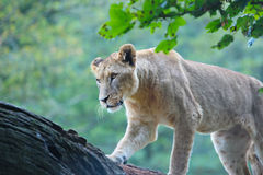 Hunting lioness on a log Royalty Free Stock Photos