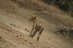 Hunting Lioness at mid day Royalty Free Stock Images