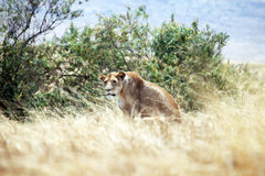 Hunting lioness Royalty Free Stock Photo