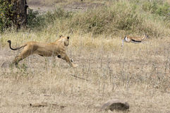 A hunting lioness. Trying to catch a Thomson`s gazelle - Tanzania Stock Images
