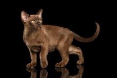 Hunting little Burma Kitty Walking Isolated Black Background Stock Photo