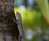 Hunting lizard Stock Image