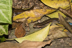 The Hunting Lizard Stock Image