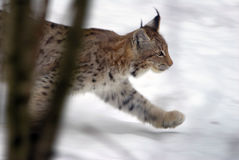 Hunting lynx. Young lynx hunting in wintertime Stock Images