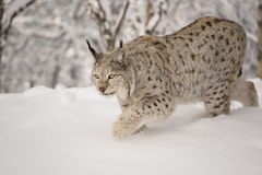 Hunting lynx Royalty Free Stock Photos
