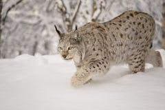 Hunting lynx Royalty Free Stock Photos