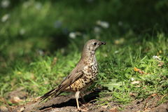 A hunting mistle thrush. Royalty Free Stock Photos