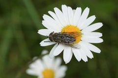 A hunting Narrow-winged Horsefly Tabanus maculicornis perching on an ox-eye or dog daisy flower Leucanthemum vulgare. stock images