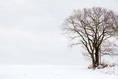 Hunting Oak Tree Stock Images