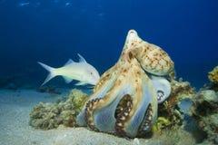 Hunting Octopus and Goatfish Royalty Free Stock Photo