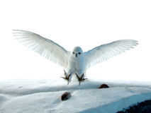 A hunting Owl. A white owl is hunting a mouse Royalty Free Stock Images