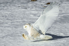 Hunting Owl. Adult Female Snowy Owl Hunting And Ready To Strike Prey Royalty Free Stock Image