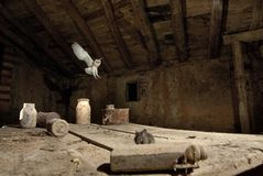 A hunting owl Tyto alba, hunting mice in an old barn, in flight, flying at night stock image