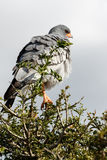 Hunting - Pale Chanting Goshawk - Melierax Canorus. Hunting - The pale chanting goshawk is a bird of prey in the family Accipitridae. This hawk breeds in Stock Photo