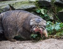 Hunting pallas`s cat, also known as the manul. royalty free stock photo