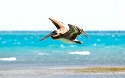 Hunting pelican Royalty Free Stock Photo