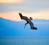 Hunting pelican Royalty Free Stock Image