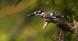 Hunting Pied Kingfisher Stock Photo