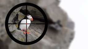 Hunting: Puffin in it`s natural environment stock images