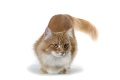 Hunting red cat. Red norwegian forest cat hunting Stock Photo