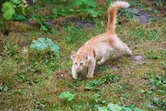 Hunting red cat Royalty Free Stock Photography