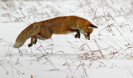 Hunting red fox Stock Photo