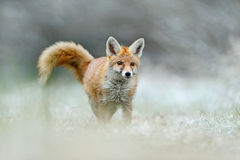 Hunting Red Fox in snow winter Royalty Free Stock Image