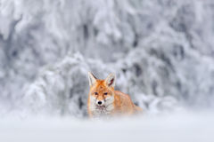 Hunting Red Fox in snow winter Royalty Free Stock Photos