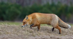 Hunting Red fox walks through grass in search of victims or food stock photography