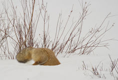 Hunting red fox. This red fox was hunting in yellowstone park Royalty Free Stock Images
