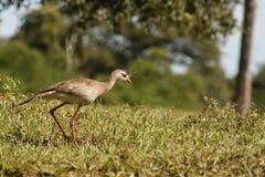 Hunting Red-legged Seriema Stock Photography