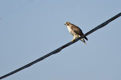 A Hunting Red-Tailed Hawk Royalty Free Stock Images