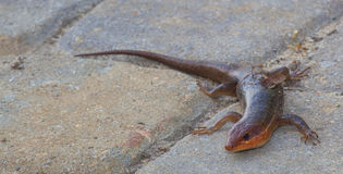 Hunting reptile Stock Photo